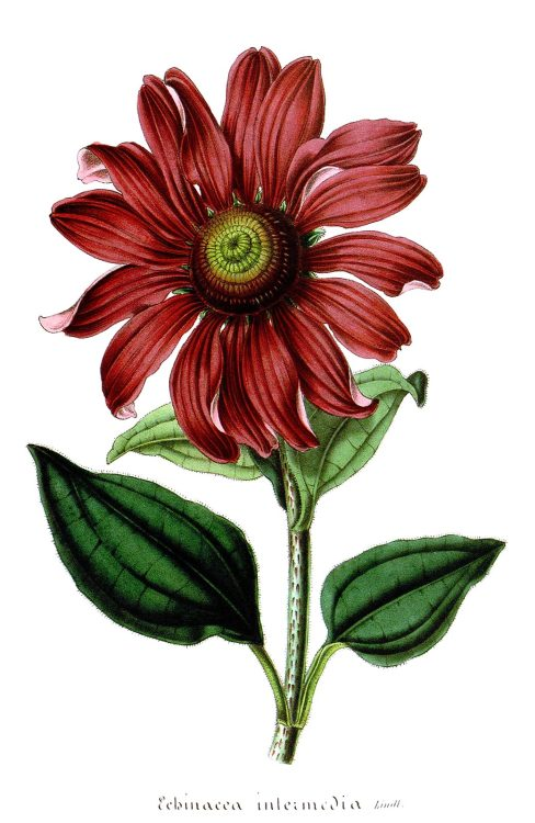 Purple coneflower (Echinacea purpurea, syn. Echinacea intermedia)  From Flore des Serres et des Jardins de l'Europe (Flowers of the Greenhouses and Gardens of Europe) vol. 4, by Charles Lemaire, Michael Scheidweiler, and Louis van Houtte, Ghent, 1848.  (Source: archive.org)