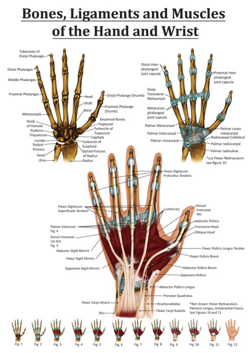 mucholderthen:  Anatomy of the Hand and Wrist by ~Black-Rose227Wacom tablet and Photoshop CS5.