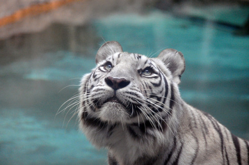 v1gilante:  White Tiger by m_tarver on Flickr.