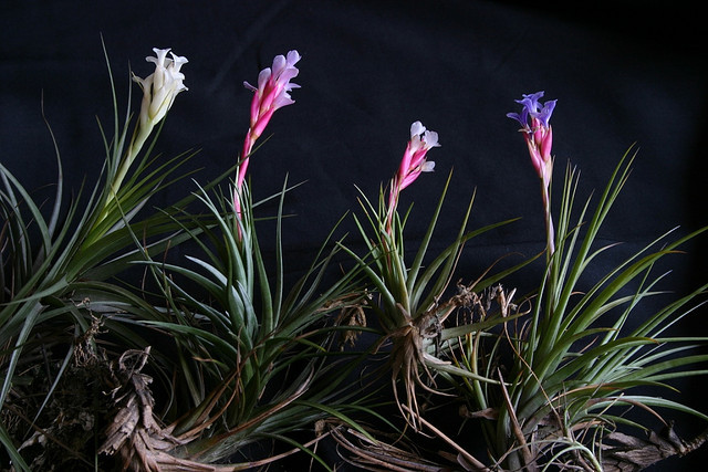 tillandsia aeranthos - color variations3 by Luiz Filipe Varella on Flickr.