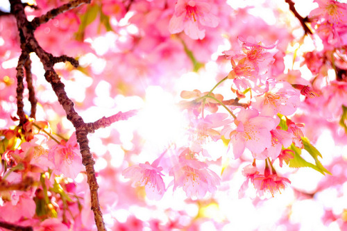 kataomoidial:  Spring sunlight through the Cherry Blossoms by San2025jp on Flickr.