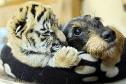 The Tiger Cub and the Terrier