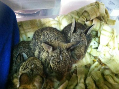 For the bunny lovers:) Rescued baby bunnnies by Wildlife Hotline.