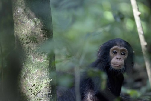 Baby Chimpanzee - Kabale National Park, Uganda. 2013. Elliot Smith