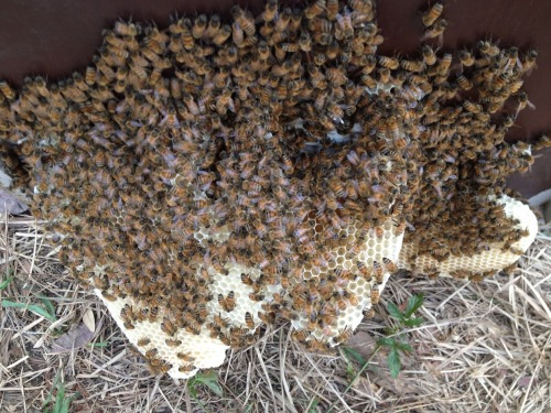 Looks like we have a nectar flow! The bees in the cell builder hive built this comb under the hive top in less than 24 hours. (There were two empty frame slots. They filled in that area with their own comb. ..busy ladies!)