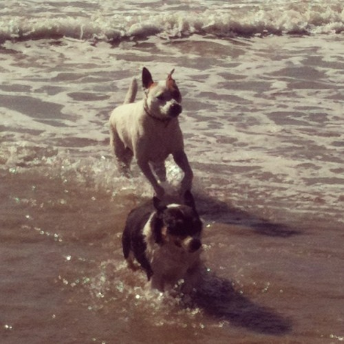 Kona and Molly playing in the water. 😘 @cblum @smythchristine @maile_rellish  (at Huntington Beach)