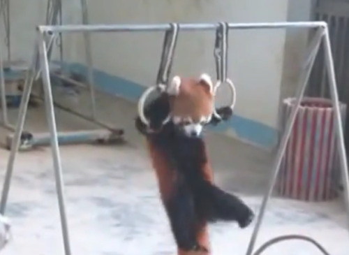 WATCH THIS BABY RED PANDA WORK OUTby Blaire Bercy http://bit.ly/11zcRNZ