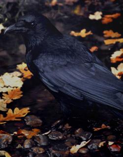 * Crows crow corvid