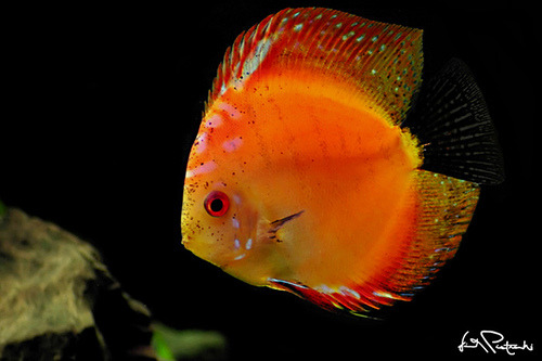 sammy-i-ammy:  Morning Glory Discus by VincentPiotrowski on Flickr.