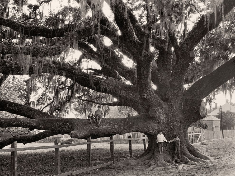 Edwin L. Wisherd: Children play on an oak tree near St. Francisville, Louisiana. c. 1930.