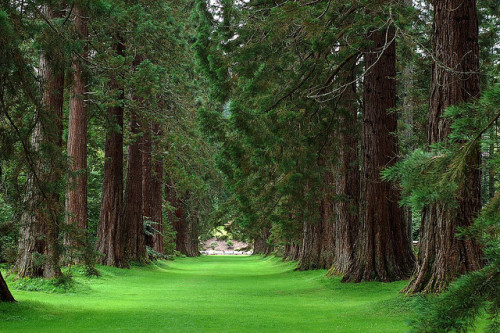 treeroots:  The Sequoia Avenue at Benmore Gardens by Chris Horton Photography on Flickr.