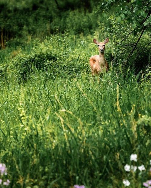 photooftheday colorphotography spring naturephoto ig_masterpiece ig_wildlife naturelovers deer naturephotography photographer ig_photooftheday wildlifephotography
