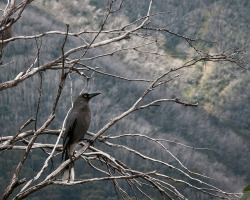valscrapbook:  Razorback to Feathertop: Currawong by hradcanska on Flickr.