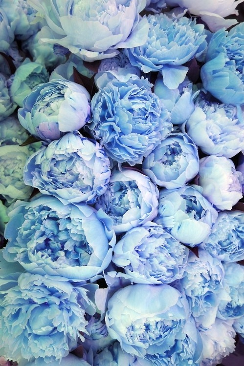 eatprayreblog:  c0caino:  delicatemint:  I love peonies! Where to get these blue ones?  on photoshop  ^^^^