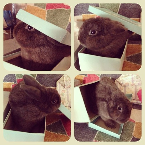 My bunny coming out of a box! 🐰🐰🐰 #bunny #rabbit #pet #netherlanddwarf #animal and he got blue eyes. Haha~ ☺ #box
