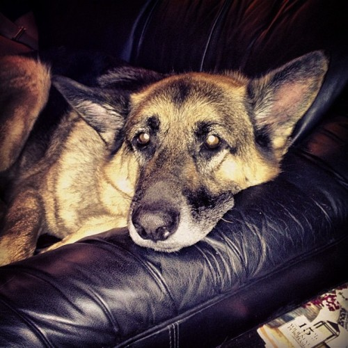 Sleepy and tired #bruno #germanshepherd