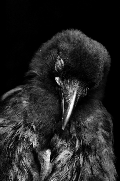Sleepy Crow by Ted Depple