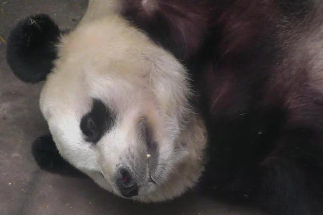 Too Cute Tuesday Le Sheng Grins, Female Giant Panda, Bifengxia Panda Reserve, Ya'an China. Find something to make you smile on the Panda Toddler Cam. If you catch a great screen shot, email it to us at share@explore.org.