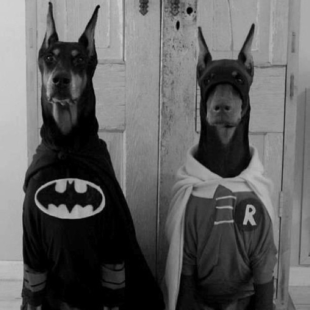 fph723:  #batman #robin #dogs #Doberman #cosplay #funny