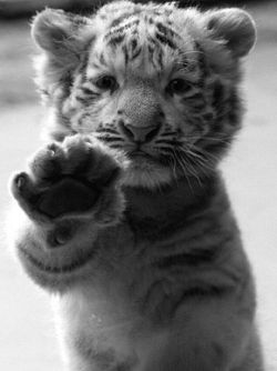 High-five tiger.