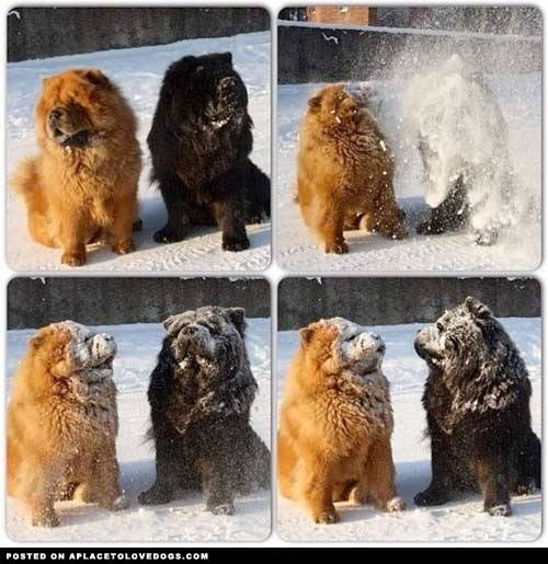 aplacetolovedogs:  Shake, shake, shake. Two adorable Chow Chows having fun in the snow!! For more cute dogs and puppies