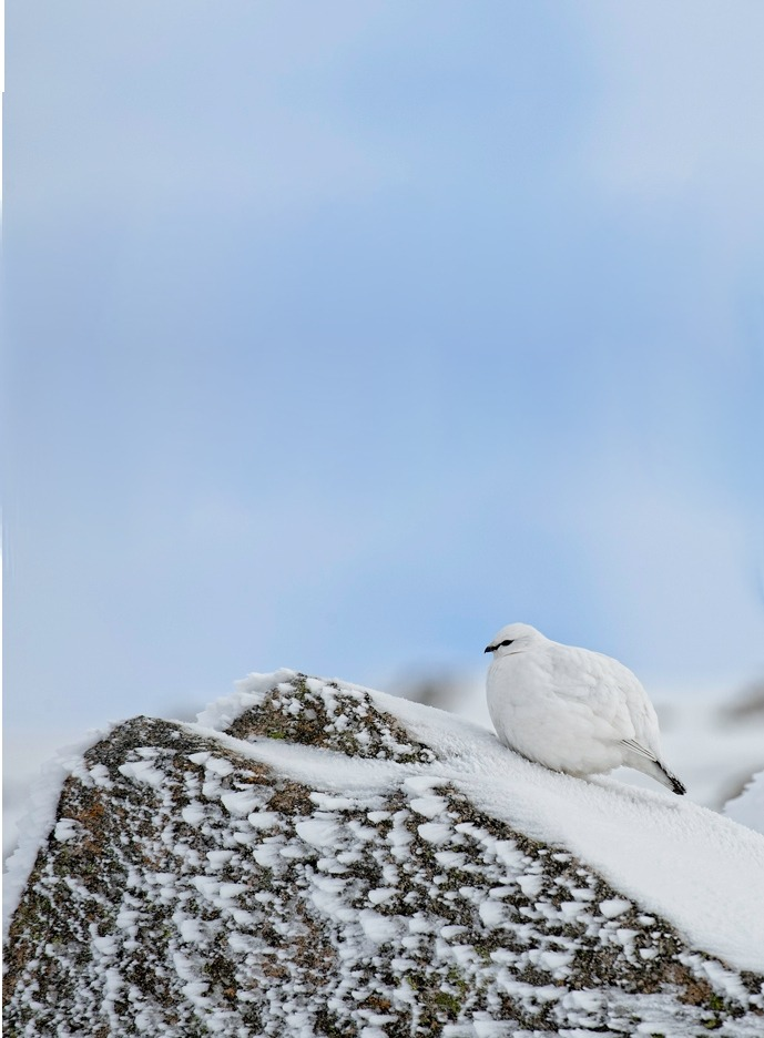 peregrineinastoop:  Rock Ptarmigan by David Walker