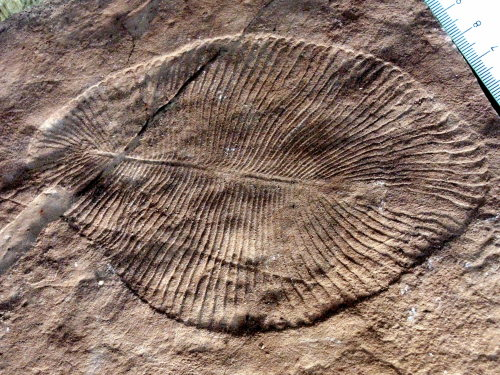 blue-green-planet:  'Marine' Fossils May Instead Represent Early Land Dwellers  A controversial new interpretation of several fossils claims that these sac-like organisms may have been some of the earliest land dwellers. Gregory Retallack, of the University of Orgegon, has analysed the rocks these fossils were found in and claims that they formed from terrestrial soil and were not marine. Therefor the organisms that left the fossils must have been terrestrial. To read the entire article click the image.