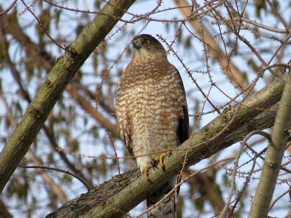 One of the many raptors that call the Garden home (or at least their favorite buffet), in this case a Cooper's Hawk. So often it's the Great Horned Owls and Red-tailed Hawks that hog the spotlight, but now and again the real variety of the wildlife here chimes in. And then…gives you a disapproving glare, but that's beside the point. This photo comes from our resident birdwatching photog' extraordinaire, Pat Gonzalez. I like to think of her as the Hawk Whisperer. —MN
