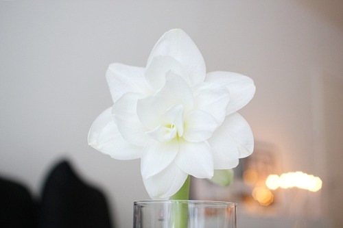 Amaryllis | by All you need is White | via alliesdream