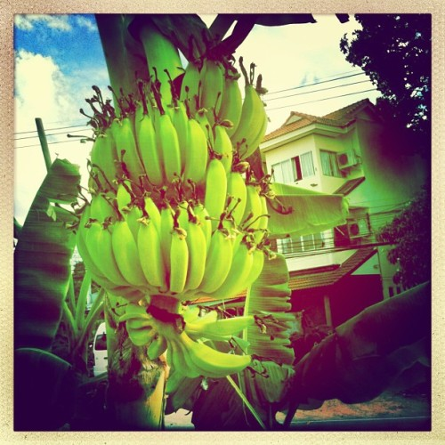Unripe bananas on a tree (at J Guesthouse)