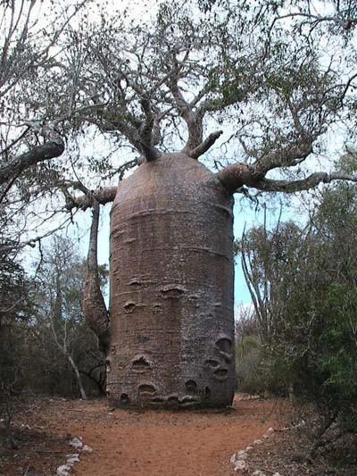 The Baobab Tree can store up to 32,000 gallons of water in its trunk. Wikipedia article here
