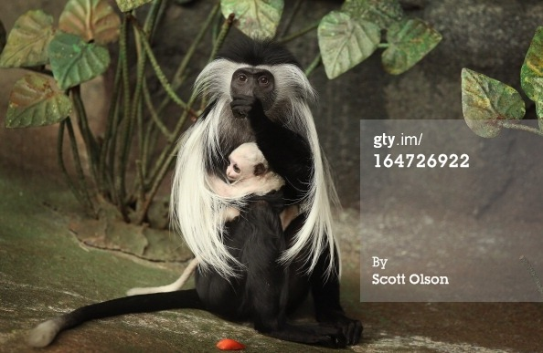 gettyimages:  Angolan Colobus Monkey Born At Chicago-Area Brookfield Zoo  Olivia, a five-year-old Angolan colobus monkey, clutches her baby which was born March 9, at the Brookfield Zoo on March 27, 2013 in Brookfield, Illinois. The infant monkeys are born completely white, turn gray, and then black, their adult coloration, in approximately three months.  Angolan colobuses are native to dense rain forests throughout equatorial Africa.   Photo by Scott Olson/Getty Images