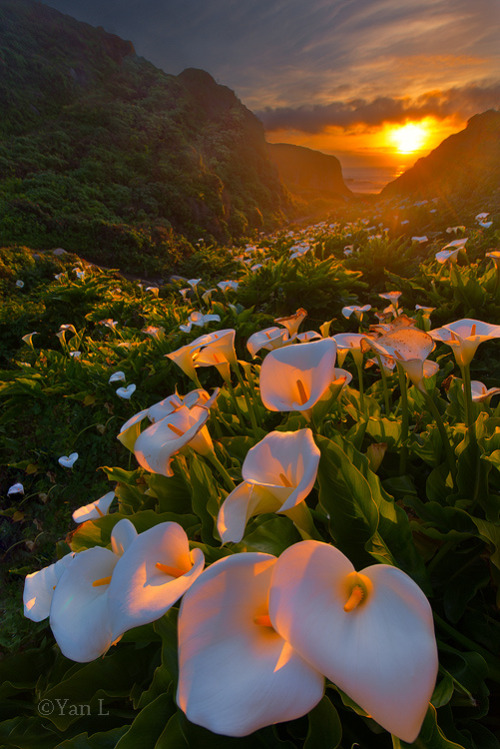 senerii:   Calla Lily Valley, Big Sur (By Yan Photography)