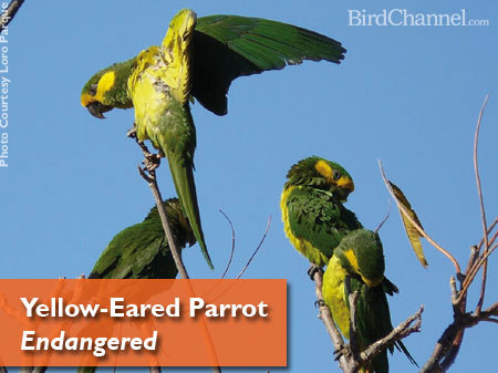 birdchannel:  In honor of Endangered Species Day on May 17, 2013, BirdChannel is helping promote awareness of endangered parrot species all month long. The yellow-eared parrot (Ognorhynchus icterotis) is an endangered bird native to parts of South America. The story of the yellow-eared parrot is one of successful. Prior to 1999, the species was considered extinct, until 81 individuals were discovered in Colombia. Habitat loss, the pet trade, hunting for food and the destruction of wax palms, a plant key to the yellow-eared parrot's survival, had caused the population to drop. After those 81 birds were discovered, conservation efforts were started to help the species. Read more about their story here.