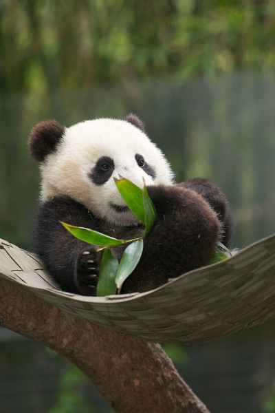 sdzoo:  Hammock full of Wu by Mollie Rivera