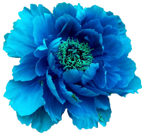 transparent-flowers:  Blue peony. (x).