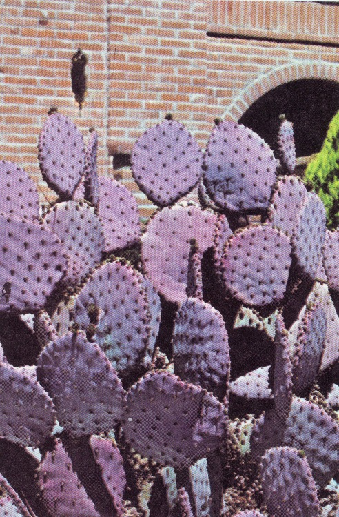 pizzzatime:  landlockedmermaid: cac-tus: Cactus: Opuntia 'Santa Rita' - Book: Cactus and Succulents; House plants & Landscaping Ideas in Color by the Editors of Sunset Books and Sunset MagazinePhotograph made by Steve W. Marley