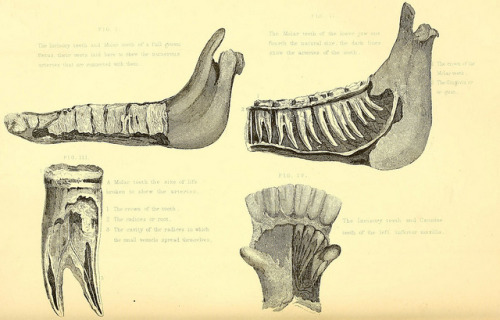 Horse jaw and teeth by BioDivLibrary on Flickr. Rural life described and illustrated, in the management of horses, dogs, cattle, sheep, pigs, poultry, etc. etc. :.London ;London Printing and Pub. Co.[between 1868 and 1888].biodiversitylibrary.org/page/20715439