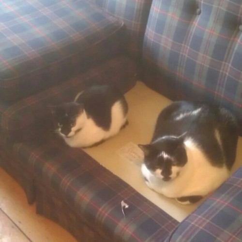 These two interrupting my mom. #cats #cat #meow #fur #couch #black #white #instapet #instacat #cute #balloffur