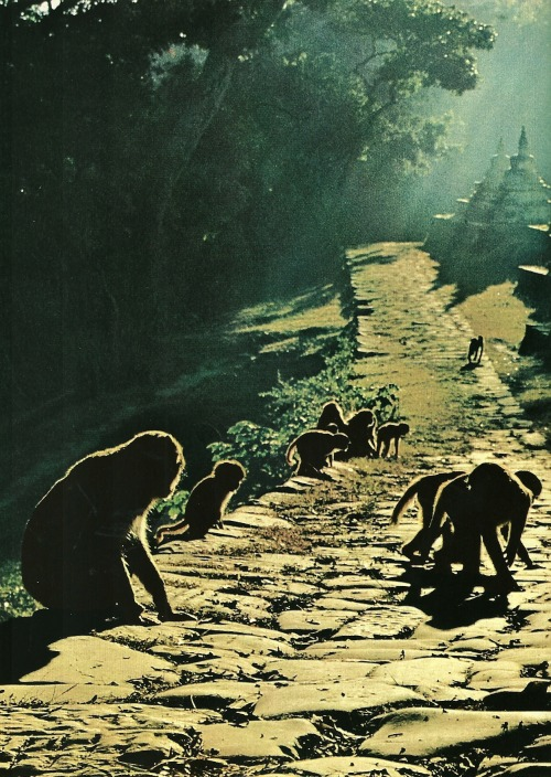 vintagenatgeographic:  Rhesus monkeys at Swayambhu Temple in Nepal for a typical morning of basking, playing, and nosing around for food National Geographic | April 1980