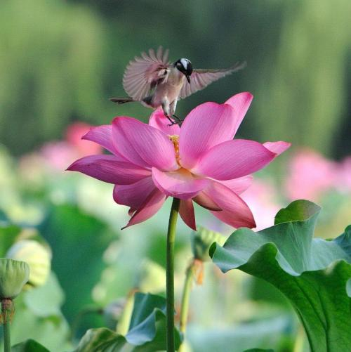 "touchn2btouched:  yogibe:  Pink lotus landing  ""In that most magnificent place, the purest of all places—your heart, someone resides there who is your closest friend. There for you always. No cell phone required. No language required to communicate. All is there within you. Other parties have to end, but this one has the possibility of going on and on, for the rest of your life."" ~Prem Rawat"