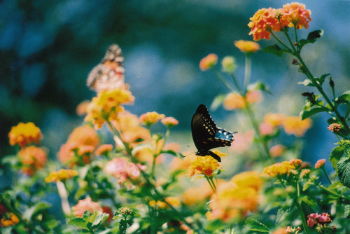 closings:  butterfly by iamthechanster on Flickr.