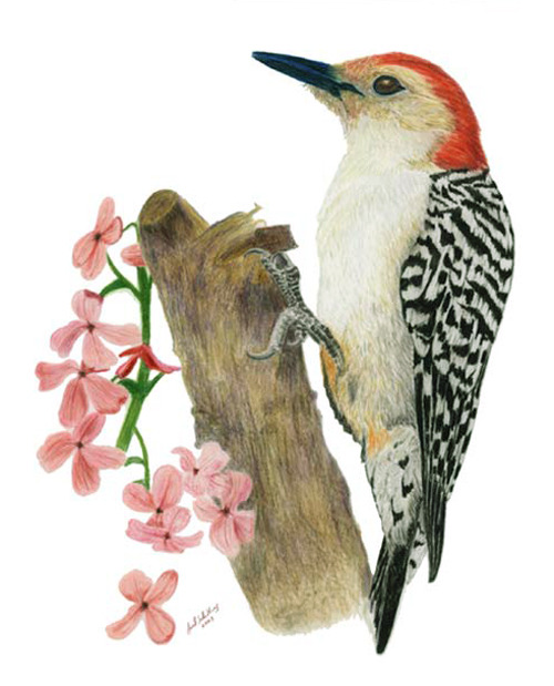 A red-bellied woodpecker by Joel B. Schilling