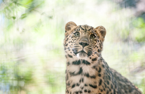 eyes-of-the-cat:   Young Amur-Leopard (by Peter Hausner Hansen)