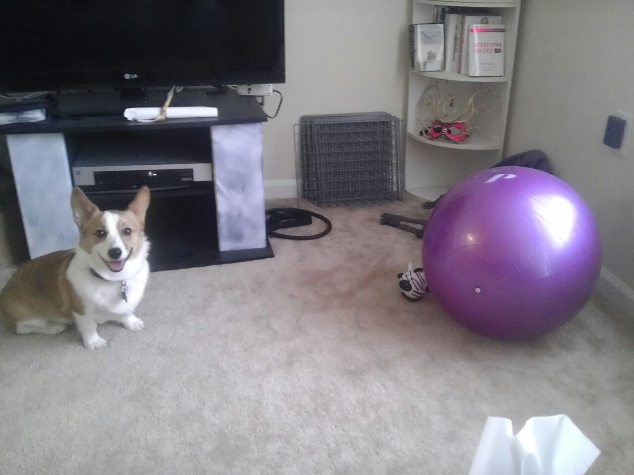 He loves his little zebra squeaker toy but he's terrified of the fitness ball. I hope that one day he'll get over his fear by rescuing a toy from the evil ball.