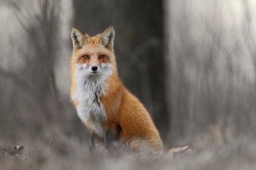 llbwwb:  Red Fox by Denis Dumoulin.  i want a pet fox