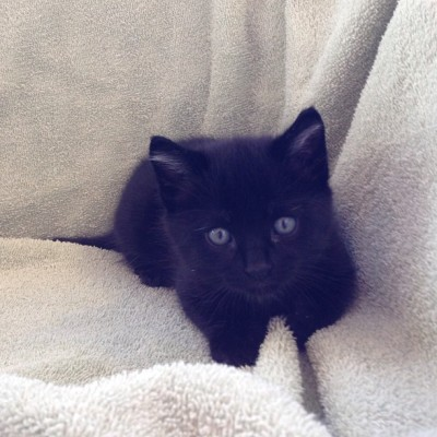I'm #Onyx the #kitten and I'm the sleekest of my four brothers. #kittensofinstagram #meow