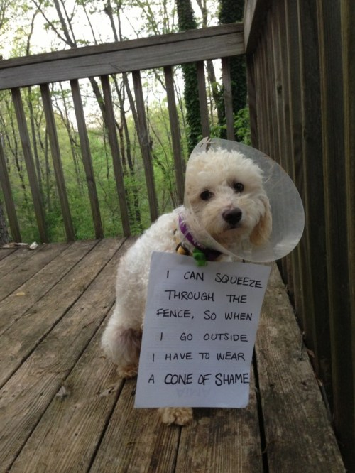 "dogshaming:  Adoptable Fridays - Frasier  ""I can squeeze through the fence so when I go outside I wear a cone of shame"" This is Frasier. He…  View Post"