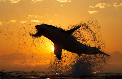 Great White Shark jumping during the sunset