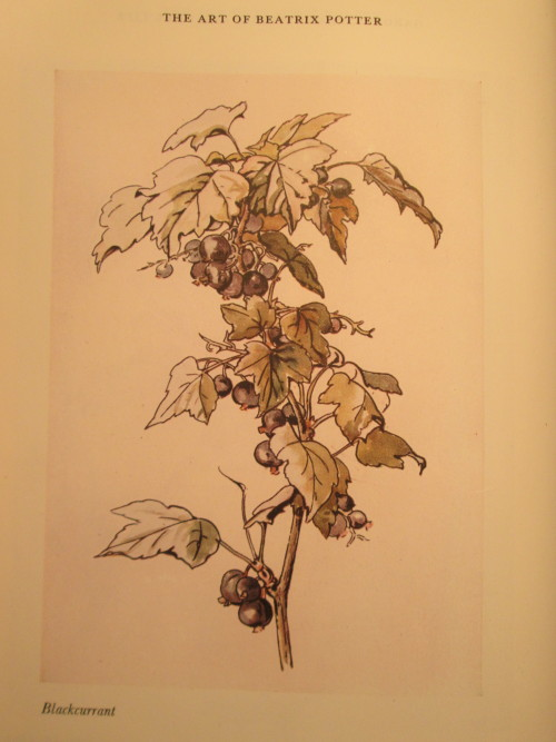 "amiarty-yet:  Blackcurrant study by Beatrix Potter found this in ""Art by Beatrix Potter""  I love how realistic it looks but still has a refined black edge."